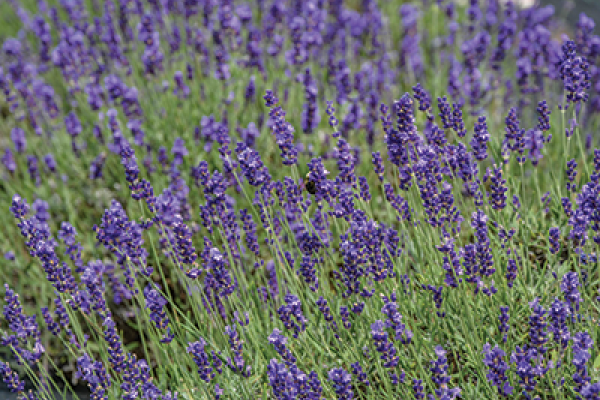 Lavender Farm at Deep Creek Lake